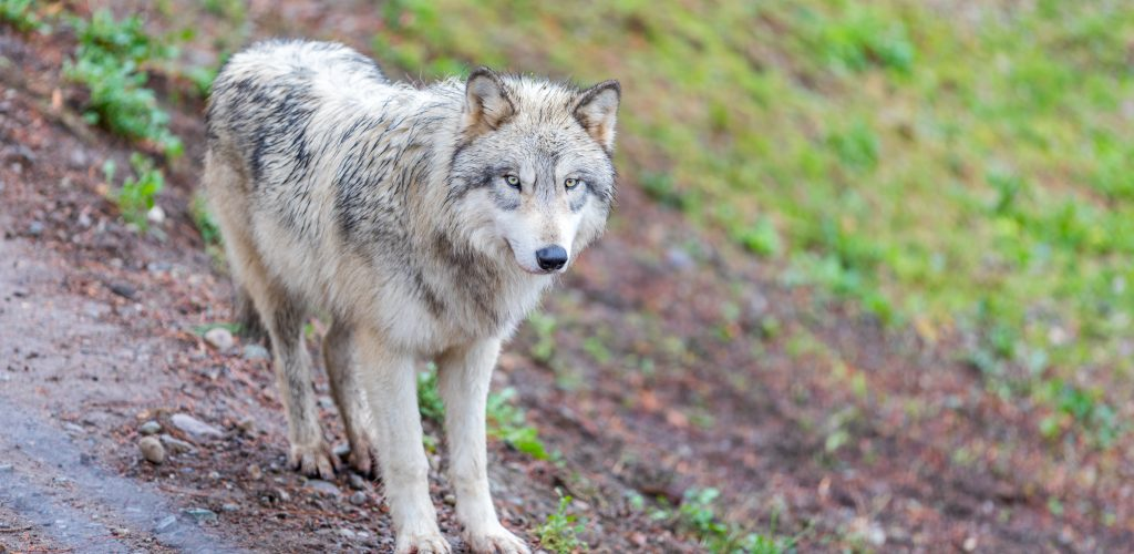 Timberwolf (gray wolf) walking on the trail.