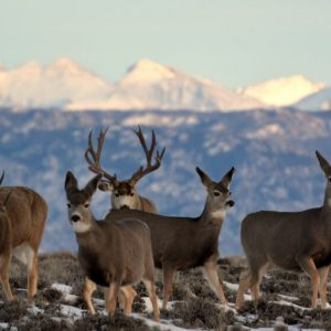 blm_mule_deer_wyoming_blm_photo