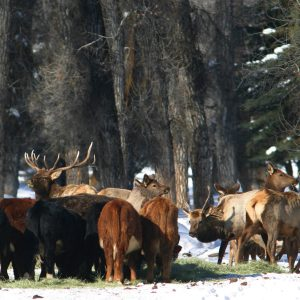 elk cattle